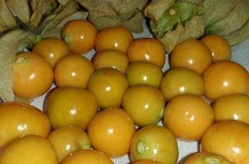 Ceplukan bukan tanaman asli Indonesia dan pernah terlantar bahkan di beberapa tempat sudah punah. Namun kini buah kecil itu melambung kembali. Harganya selangit dan diburu orang.