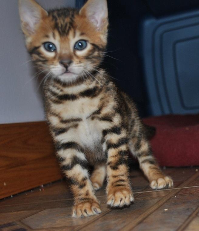 bengal cat price california