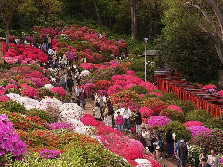 Kvetoucí japonské azalky - keře, školky keře, japonské zahrady v Pisarzowice