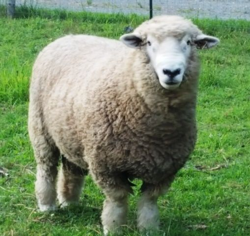 Chester, our new ram is purebred Romney with an excellent fleece. And he is so gentle.