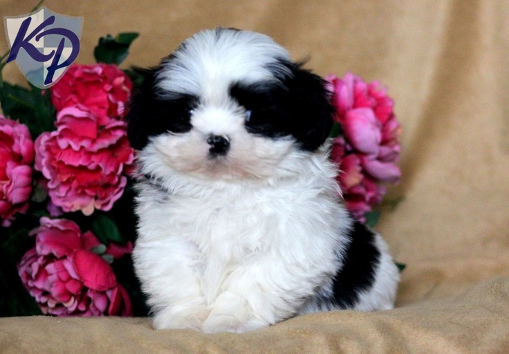 shih tzu puppies in pa tessa shih tzu puppies for sale in pa keystone puppies 6020