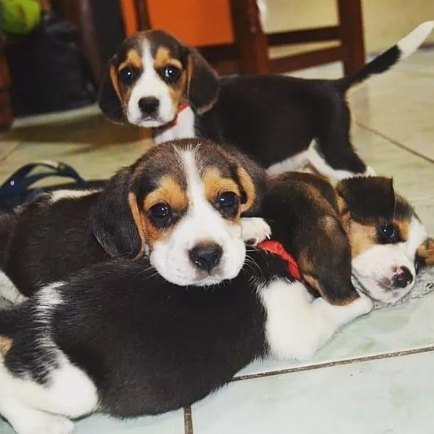 Bellas Cachorras Beagles 13 Hembras Excelente Genotipo Y Fenotipo