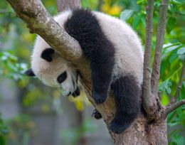Know All About the Rapidly and Irreversibly Depleting Panda Habitat