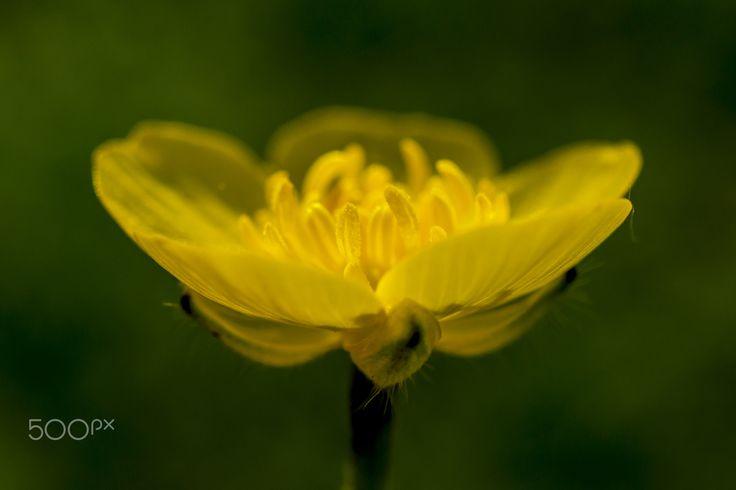 Yellow - Close on Ranunculus