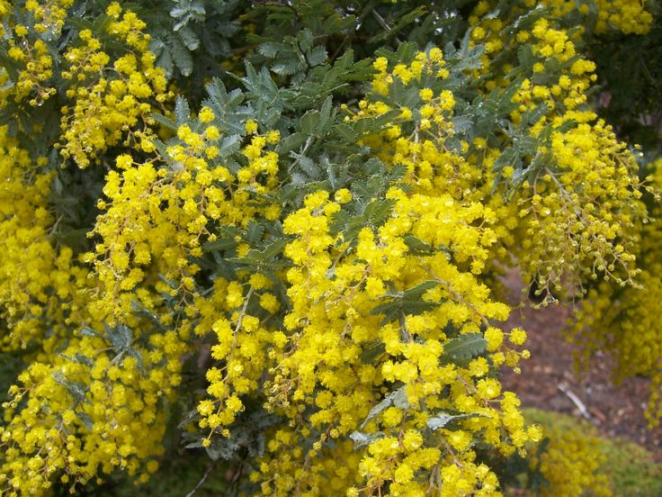 The 2 Minute Gardener: Photo - Bailey's Acacia (Acacia baileyana)