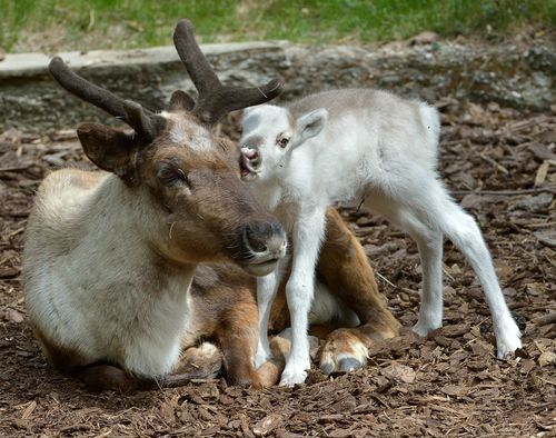 """Named for the word """"snow"""" in Finnish, Lumi the female Reindeer calf was born on April 25 at Austria's Vienna Zoo.  Only minutes after the 11-pound (5 kg) calf was delivered by female Reindeer Helmi, Lumi stood up on her thin and wobbly legs."""