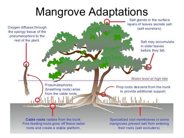 Mangrove details   scorebetter.in