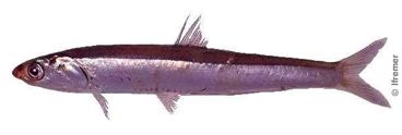 pélagique : vit dans les eaux proches de la surface ou entre la surface et le fond. Le hareng , la sardine, l'anchois, le maquereau, le thon. ont le dos bleu-vert. Cette coloration les protégerait des oiseaux et prédateurs marins.