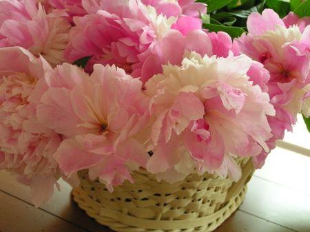 Peonies - Sorbet   My favorite flower.