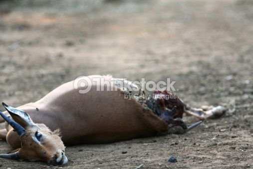 The rotting, partially eaten carcass of an antelope infested with flies