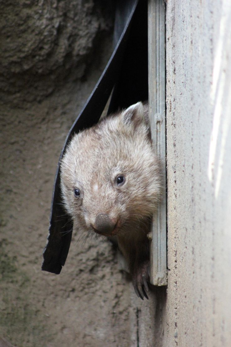 """You rang?"" We spotted #chloethewombat peeking out from her burrow beside Taronga's Platypus House. Common Wombats like Chloe are generally solitary and inhabit their own burrows, while other wombat species can be more social and live together in larger burrow groups."
