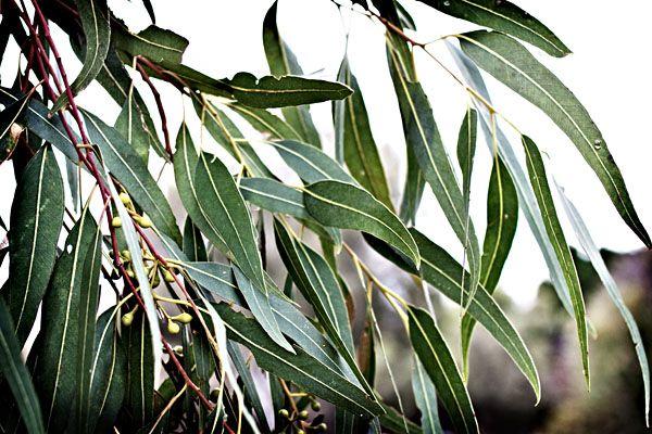 gum leaf - Google Search