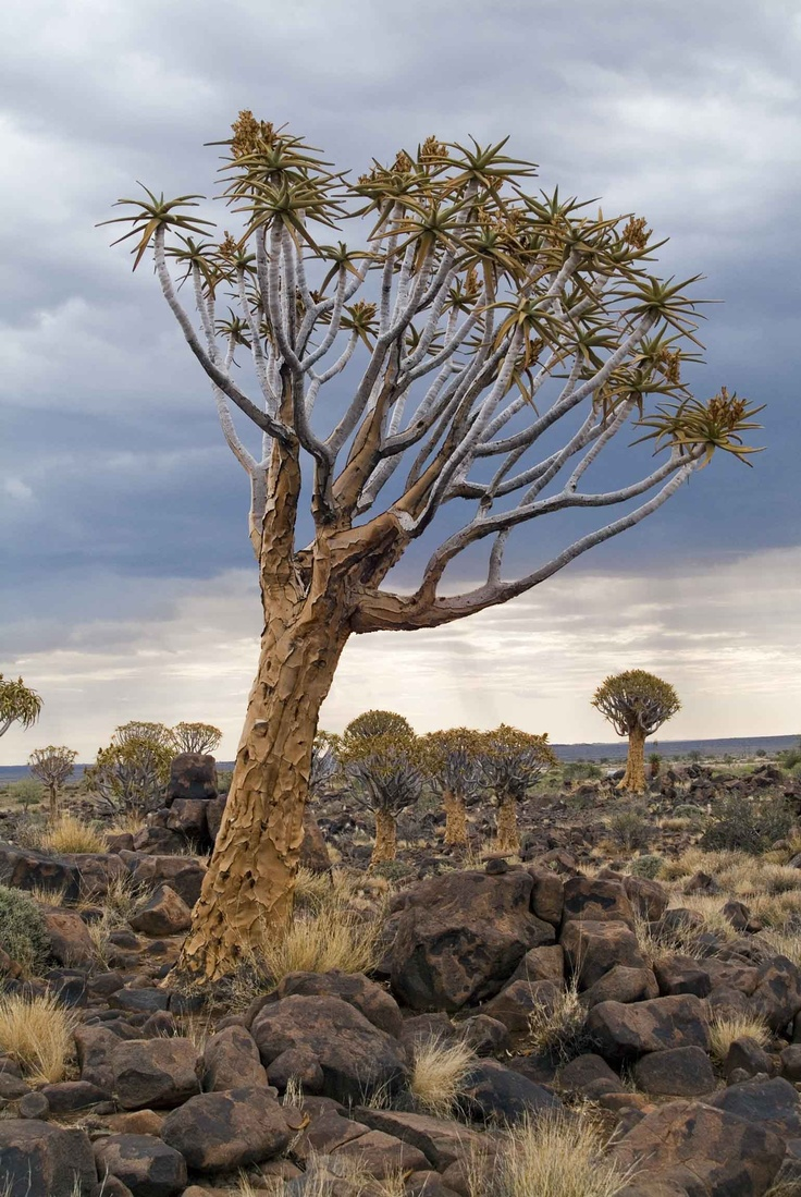 Quiver Tree Forest, near Keetmanshoop, Namibia