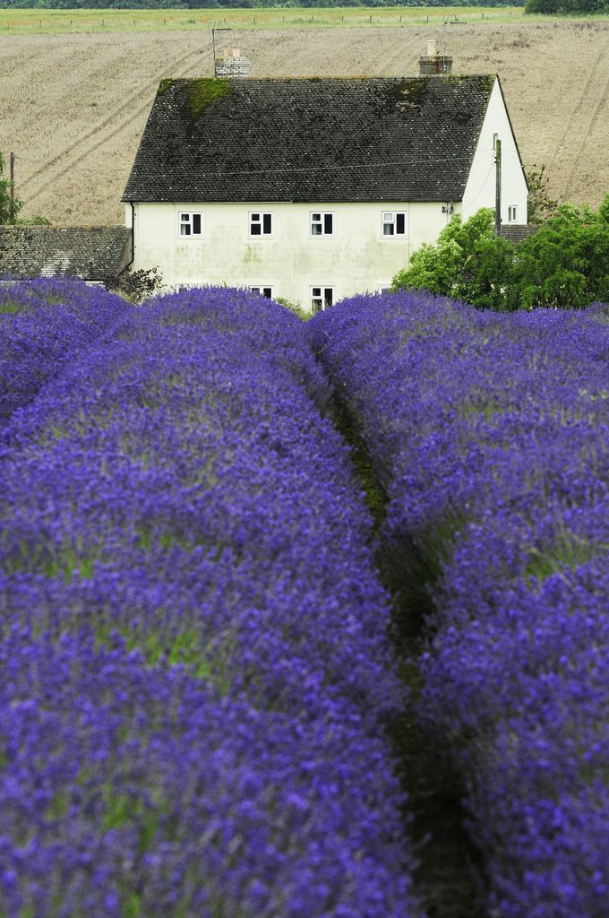 Snowhill lavender farm in Broadway, Cotswolds, England