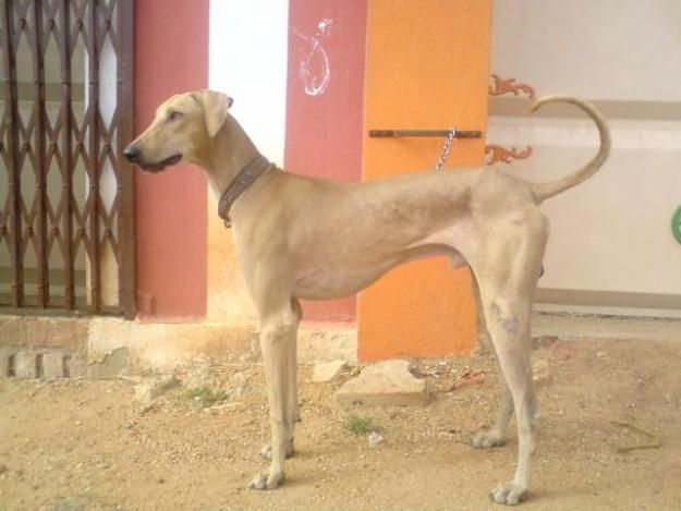 Raalayam Dogs For Sale In Olx India - Dog Breed