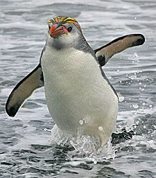 The Royal Penguin (Eudyptes schlegeli) is a species of penguin, which can be found on the sub-Antarctic Macquarie Island and adjacent islands. / photo Copyright © 2008 Penguin-Pictures