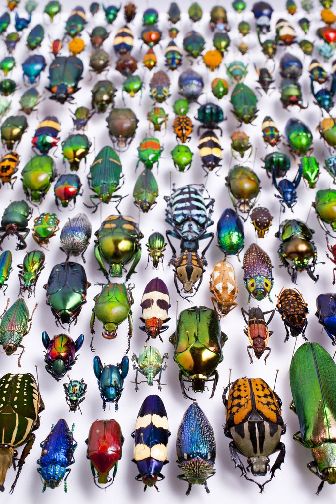Beetles (part 4), a collection from the Karlsruhe Museum of Natural History