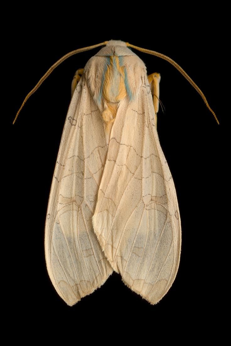 amnhnyc: Most moth species are very small and are active only at night, so we don't often get to examine them up close. But in our current photo exhibition Winged Tapestries: Moths at Large, you can pore over the insects in glorious detail. Banded tussock moth © Jim des Rivières