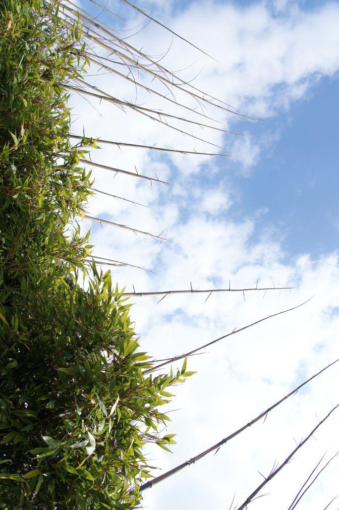 04-06 | Sinds ruim een maand schieten de jonge Bamboescheuten de lucht in. Nu de bomen ernaast gerooid zijn, krijgen ze vrij spel (in de hoogte dan). Het gaat echt enorm hard, en sommige scheuten torenen al wel drie meter boven de oorspronkelijke haag uit. De groeisnelheid t.o.v. loofbomen is dan ook 15x sneller. Ook in andere opzichten steekt Bamboe bomen naar de kroon. Zo is het in staat om 30% meer CO2 op te nemen dan welke boom ook! Bron: icmonline.ning.com, Kors van Es.