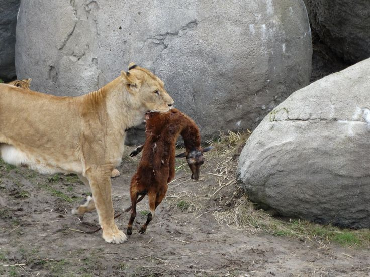 Female lion with a dead goat - Wildlands Adventure Zoo Emmen - 04-03-2017 By Tjaard Polet