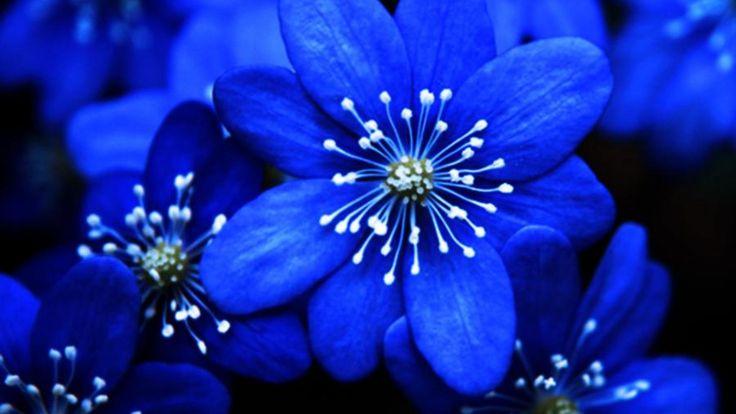 Blue Flowers 4 HD Image Wallpaper