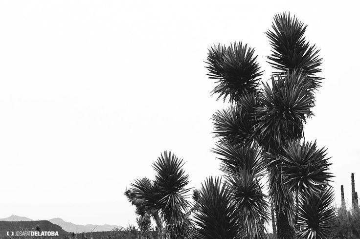 Native vegetation of Baja California Sur desert #josafatdelatoba #vegetation #bajacaliforniasur #desert