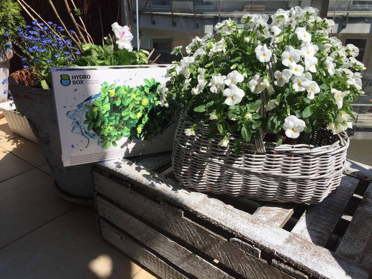 Bratki w starym koszyku na Hydroboxie. #hydrobox #hydroboxpl #bratki #kwiaty #kwiatydoniczkowe #ideas #dekoracje #hydrobox #balkon #inspiracje #diy #ideas #home #dom
