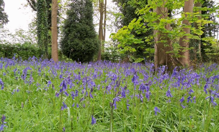 Bluebells in late April.