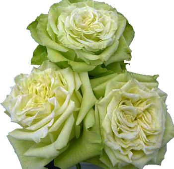 cream and green natural roses not dyed unusual and. Black Bedroom Furniture Sets. Home Design Ideas