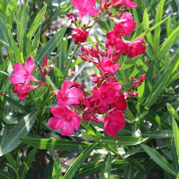 Pianta di Oleandro a Fiore Rosso