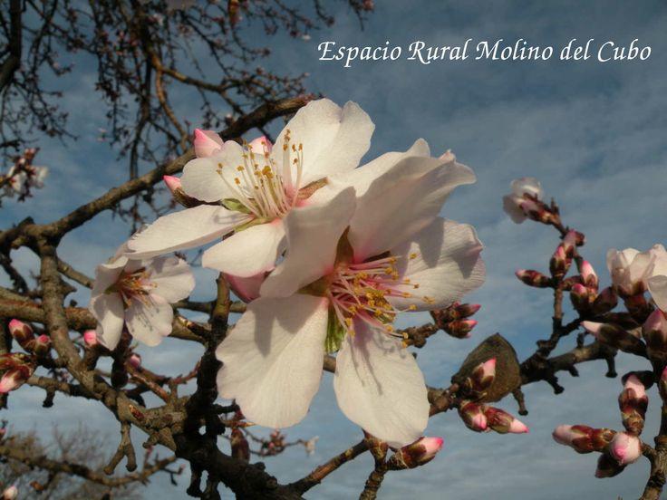 www.casaruralmolinodelcubo.com, La floración de los almendros comienza en el Molino del Cubo, Albacete
