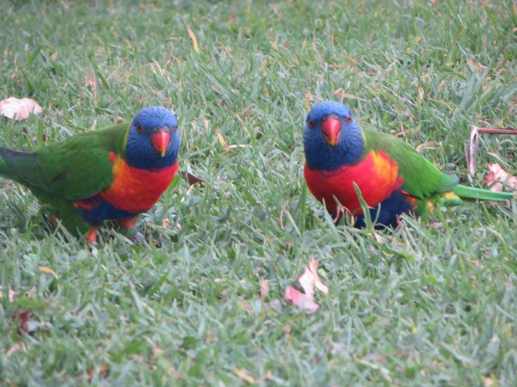Rainbow lorikeets come to visit us at Port Macquarie camp