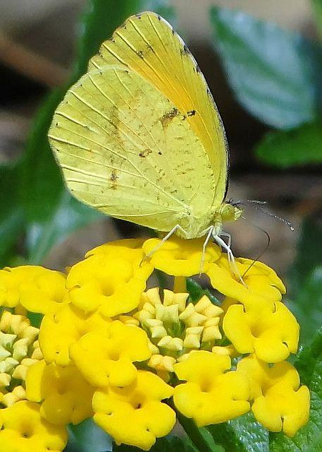 sleepy orange moth on yellow lantana