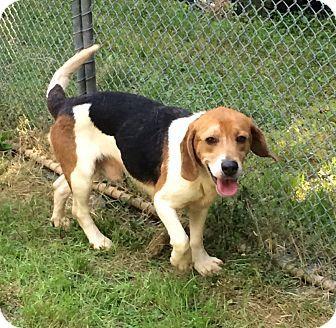 Dumfries, VA - Beagle Mix. Meet Scooter, a dog for adoption. http://www.adoptapet.com/pet/18743931-dumfries-virginia-beagle-mix