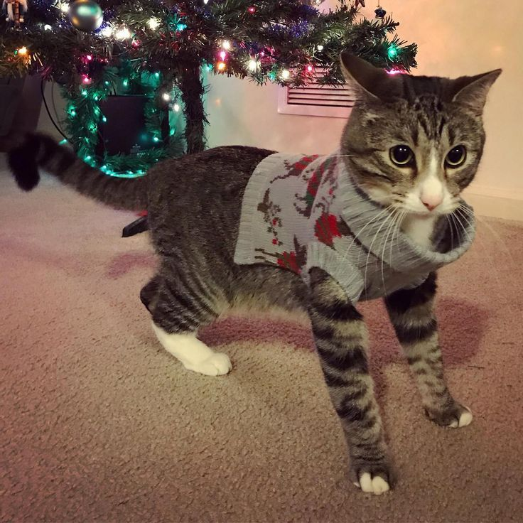 Time to break out the Christmas sweater! by jennygum cats kitten ...