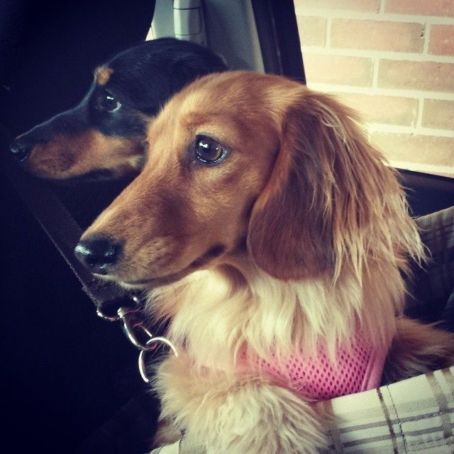 I took the girls for a drive in my new car today #penny #scarlett #mydachshund #dachshund #doxie #sausagedog #weinerdog