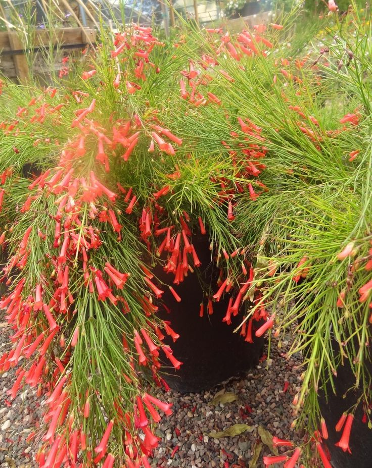 Desert gardens nursery russellia coral fountain grass for Backyard landscaping plants