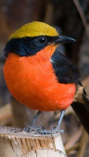 Yellow-Crowned Gonolek - Bird