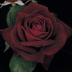 Near Black Thornless Rose