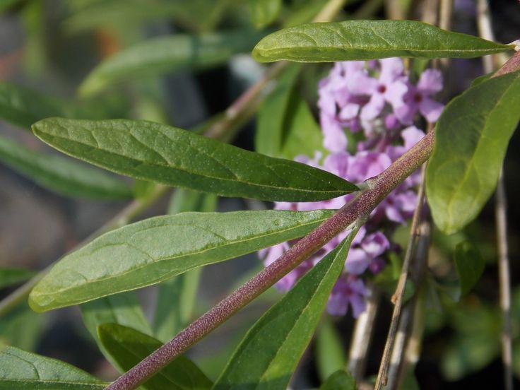 Buddleja alternifolia - Korai nyáriorgona