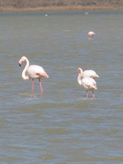 Flamingos at the Tigaki Salt Pan on the island of Kos in Greece