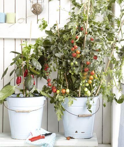 Vitaminbar: Hier warten Tomaten und Paprika darauf, gepflückt zu werden. Regelmäßiges Ernten steigert die Ausbeute bei Balkongemüse. Foto: Anke Schütz