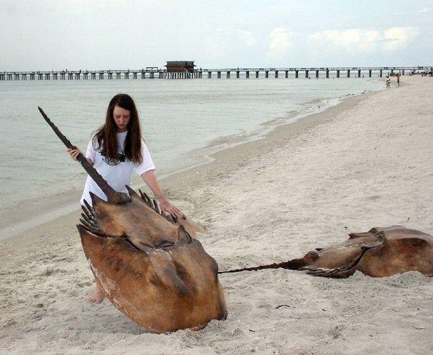 largest horseshoe crab   Still life: Giant horseshoe crabs invade Naples Beach » Marco Eagle