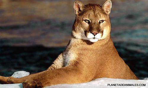 El puma : Empezamos con un nuevo genero el Genero Felis en el cual estan incluidos:Todos los gatos pequeños como el lince, el jaguarundi, el ocelote, etc. El puma. El serval. El gato domestico   El puma es un felino que se encuentra en America del Norte y America del Sur.   Nombres:  Es tambien conocido como leon americano, leon de montaña, cougar y pantera. Un raro morfo oscuro, casi negro, que se observa a veces en el oeste de EEUU y Mexico se conoce como onza.   El ...