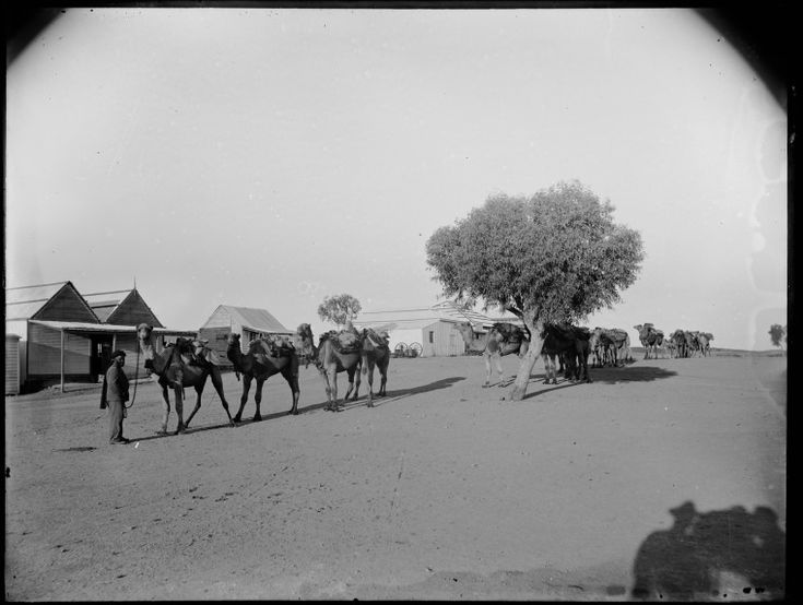 013966PD: Camels at Marble Bar with 700 lbs of tin from Moolyella, 1911 http://encore.slwa.wa.gov.au/iii/encore/record/C__Rb4302911?lang=eng
