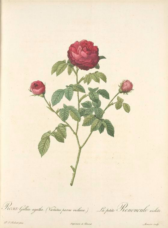 rosa gallica agatha  var  parva violacea   rosier a centfeuilles  variete      rosier de france