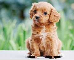 Toy Cavoodle Puppies Available P.R.A DNA tested Cavalier