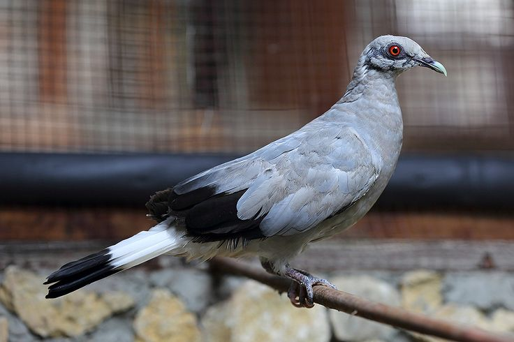 First record of Silvery Pigeon in captivity.  The critically endangered Silvery Pigeon (Columba argentina)  is one of the most threatened species of pigeon in the world. It was missing and believed extinct for 76 years before being rediscovered in Mentawai islands off the west-coast of Sumatra in 2008.  In October 2016 two captive Silvery Pigeons were 'discovered' at the  zoo of the Nias Heritage Museum.