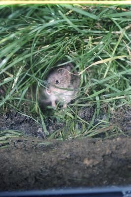 How to Get Rid of Voles With Garlic Soybean Oil