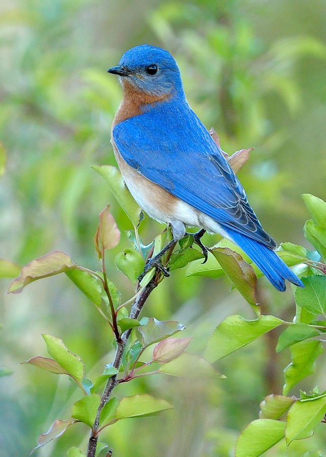 Bluebird Joy Photograph by William Jobes - Bluebird Joy Fine Art Prints and Posters for Sale